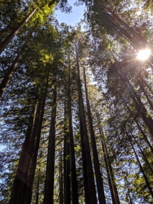 A photograph of redwood trees taken from a low angle