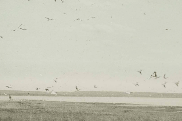 Lantern slide in faded colors depicting a flock of White Pelicans in flight